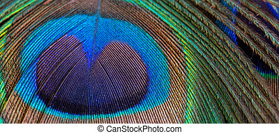 Peacock feather close-up, macro