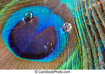 Peacock feather closeup, macro