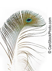 Peacock feather on white.