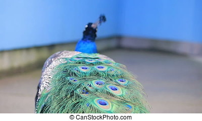 Peacock feathers blowing in breeze