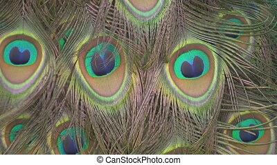 Peacock feathers. Closeup. - A closeup of peacock feathers...