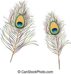 Peacock Feathers Illustration