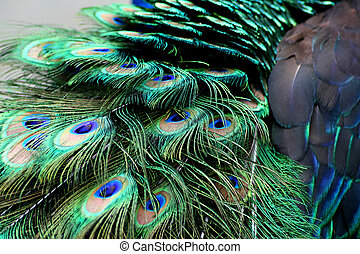 peacock feathers - peacock feather macro