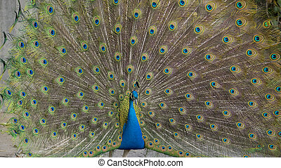 peacock feathers with huge open. Peacock feathers tail. Peacock feathers closeup. Peacock tail feathers. Peacock feathers background
