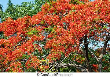 Peacock flowers on poinciana tree