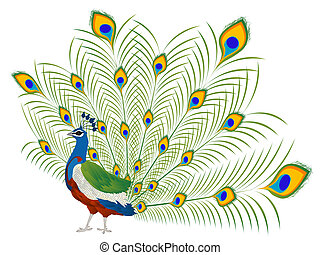 Peacock - Illustration of a beautiful peacock over white