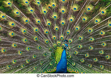 Peacock illustration with beautiful feather - Illustration...