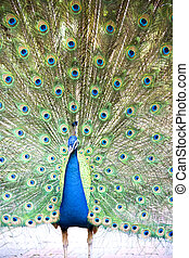 Peacock - Image of a beautiful peacock with colourful...