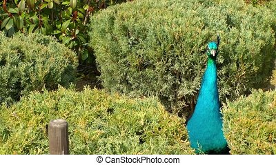 Peacock in nature