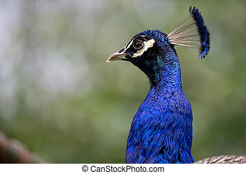 Peacock in the wild
