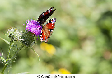 Peacock when collecting nectar on a thistle - macro shot