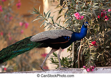 peacock of india