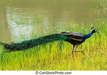 Peacock Pavo Cristatus on green Road. Yala, Sri Lanka