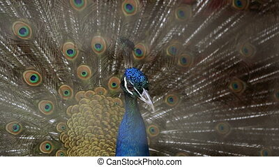 Peacock. Peacock in a cage