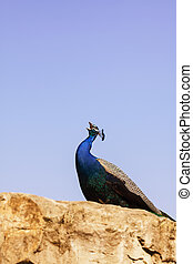 Peacock Photo on Rock with Blue Sky