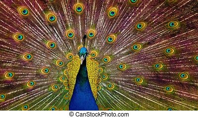 Peacock shaking its feathers with pattern of large eyes