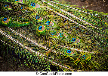 Peacock showing its extended tail feathers.