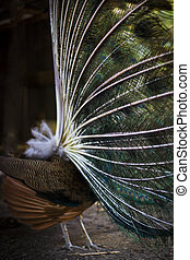 Peacock spread tail-feathers.