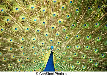 Peacock spread the tail feathers