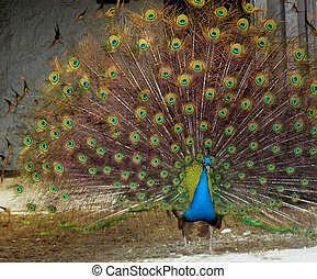 Peacock - From series animals in the farm