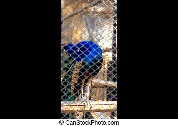peacock - a beautiful peacock