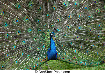 colourful peacock proudly displaying beautiful tail plumage