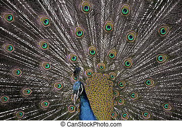 Peacock tail extended