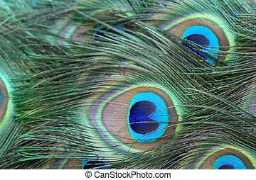 Brightly coloured feathers in the tail of a peacock