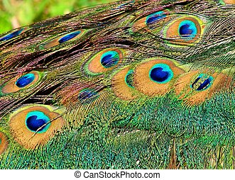 Peacock tail feathers close-up