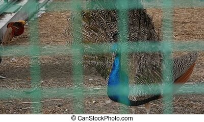 Peacock With Amazing Colorful Plumage. Colorful beautiful...