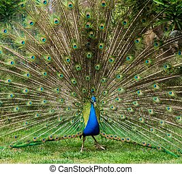 Peacock with beautiful feathers outdoors