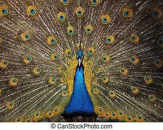 Peacock with bright yellow tail close-up