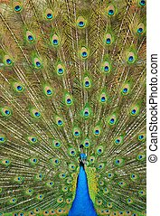 Peacock with Extended Feathers