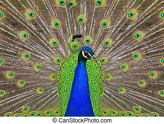 peacock with the spread tail