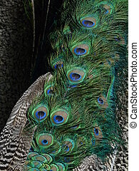 Peacock's tail feathers - Close up of a peacock's tail ...