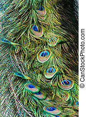 Peacock's Tail Feathers - Peacock's tail colorful feathers ...