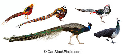 Peafowl and  pheasant family birds. Isolated over white