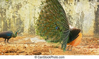 Peafowl engaged in courtship ritual at Chiang Mai Zoo in...