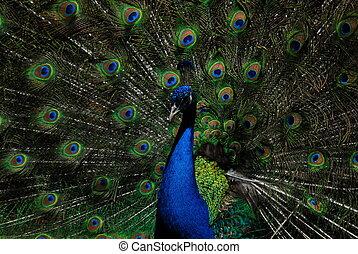 peafowl, indian