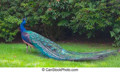 Peafowl on green grass. Bird with colorful feather.