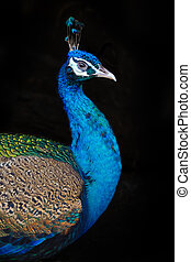 Peafowl portrait with on black background