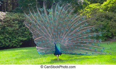 Peafowl showing its tail. Colorful bird outdoors. Peacocks...