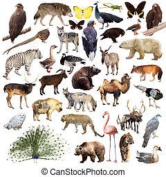 peafowl, y, otro, asiático, animals., aislado, blanco
