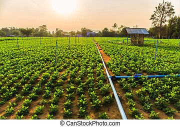 Peanut field, groundnut field on ground in vegetable garden. Sunset over field.