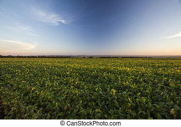 Peanut field under a blue sky.