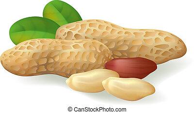 Peanut fruit and leaves. Vector illustration on white ...