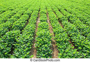 Peanuts fields - Growth in the fields of peanut seedlings in...