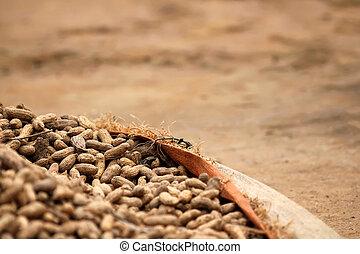 Peanuts in the farm in Rwanda