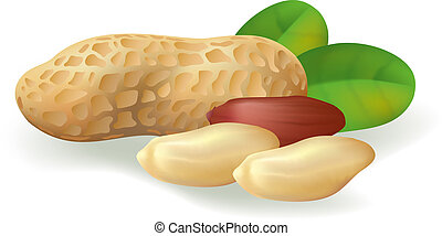 Peanut fruit and leaves. Vector illustration on white background.