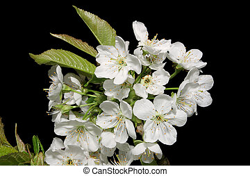 Pear Blossom - Pear blosson in spring against a black ...